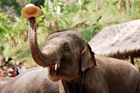 Eléphant - Chiang Mai